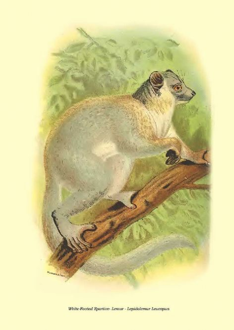 Fine art print of the White-Footed Sportive- Lemur - Lepidolemur Leucopus by Henry Ogg Forbes (1896)